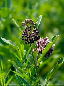 015-botanical_milkweed-wdsm-26may12-001-6291