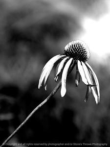 015-flower-wdsm-25jul11-001-bw-0108