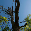 015-tree-wdsm-04may16-09x12-001-8508