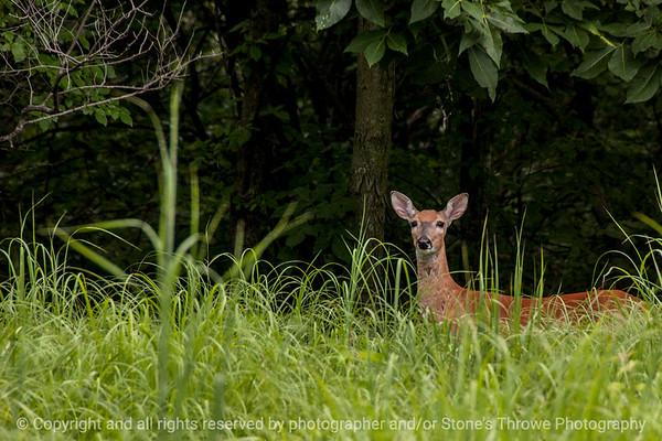 015-deer-wdsm-16jul14-003-1727