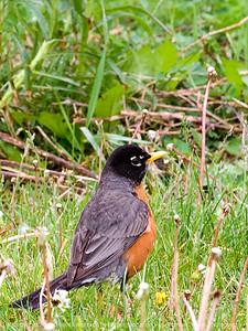 015-bird_robin-wdsm-29apr12-001-5462