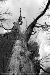 015-tree-wdsm-14mar16-12x18-004-bw-7011