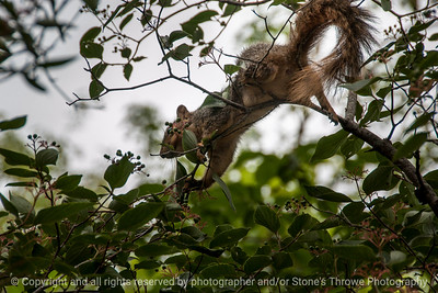 015-squirrel-wdsm-28jul14-003-1757