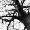 015-tree-wdsm-29feb16-18x12-003-bw-6830