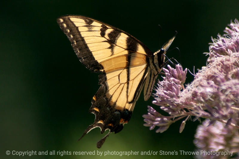 015-butterfly-wdsm-26jul13-0723