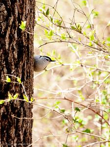015-bird_nuthatch-wdsm-27apr13-0088