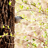 015-bird_nuthatch-wdsm-27apr13-0088