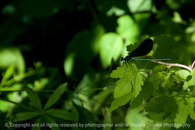 015-insect_dragonfly-wdsm-16jun16-18x12-003-9956