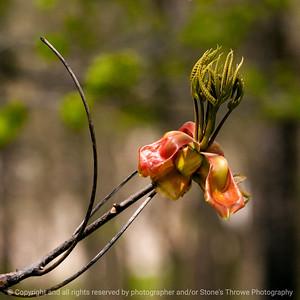 015-leaf_shellbark_hickory-wdsm-10may13-0179