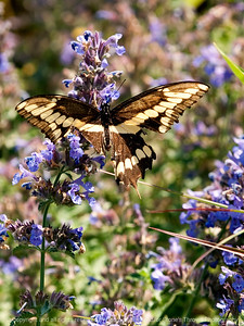 015-butterfly-wdsm-14jun12-001-6740