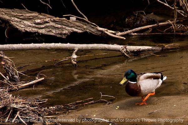 015-bird_duck-wdsm-04apr12-003-0093