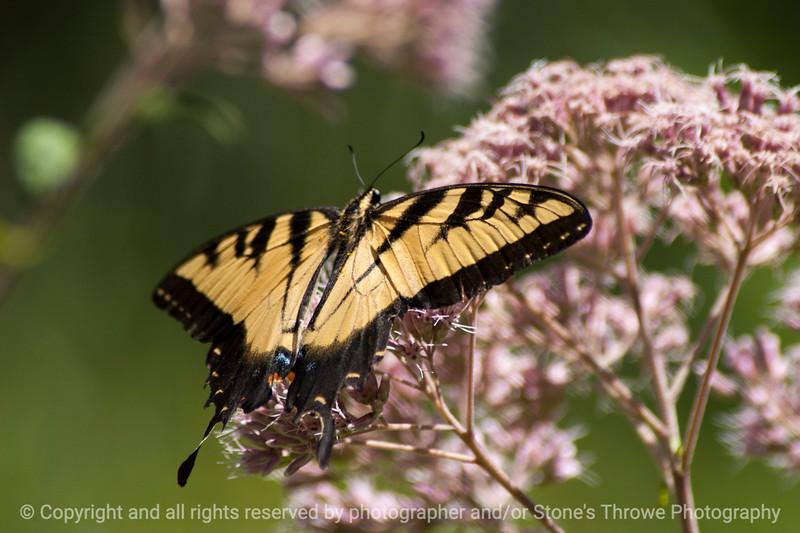 015-butterfly-wdsm-26jul13-0730