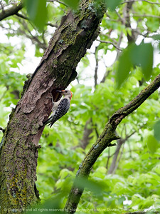 015-bird_woodpecker-wdsm-27may13-0609
