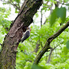 015-bird_woodpecker-wdsm-27may13-0609
