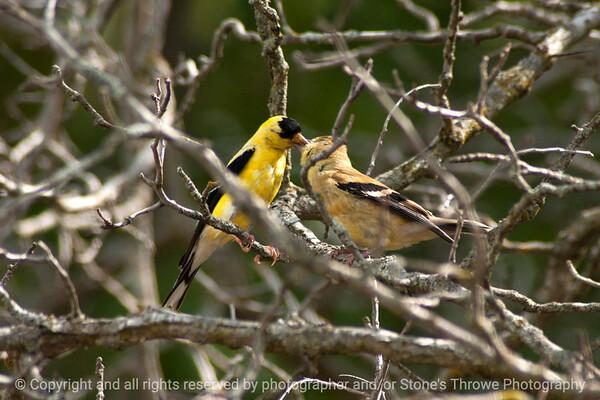 015-bird_goldfinch-wdsm-11sep13-003-0949