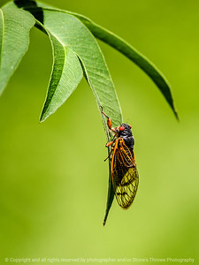 015-insect_pharaoh_cicada-wdsm-22jun14-001-8479