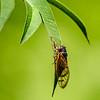 015-insect_pharaoh_cicada-wdsm-22jun14-001-8479