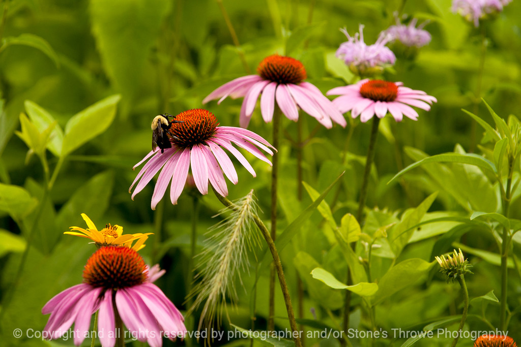 015-bee_flower-wdsm-13jul13-2123