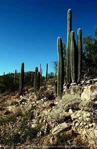 015-cactus_stand-saguaro_ntl_monument_az-05dec06-c5-0111