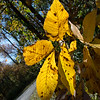 015-leaves_autumn-wdsm-19oct17-08x12-007-2354