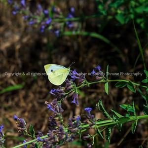 015-butterfly-wdsm-24jun21-09x09-006-400-3108