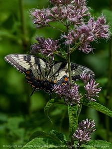 015-butterfly-wdsm-26jul18-09x12-001-350-6213