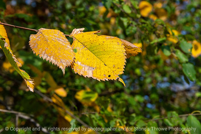 015-leaf_autumn-wdsm-11oct20-12x08-008-400-8587