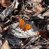 butterfly-wdsm-13mar15-18x12-003-2182