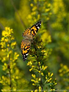 015-butterfly-wdsm-05sep17-09x12-001-1390