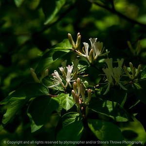 015-flower_honeysuckle-wdsm-15may21-09x09-006-400-1013