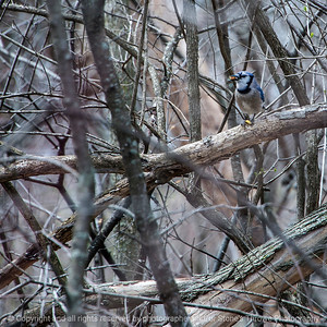 015-bird_blue_jay-wdsm-20apr18-04x04-007-3859