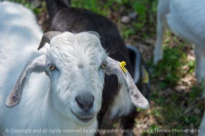 015-goat-wdsm-10may18-12x08-007-4651