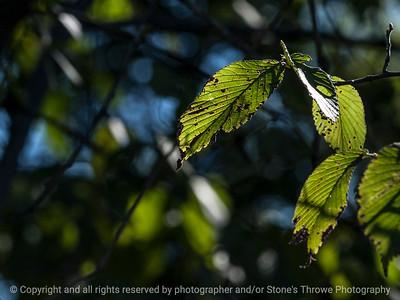 leaf-wdsm-12sep15-12x09-003-5026