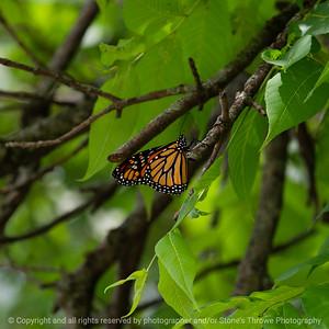 015-butterfly-wdsm-06jul19-09x09-006-500-1474