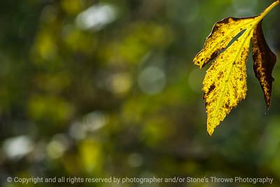 leaf_autumn-wdsm-05oct15-18x12-003-5429