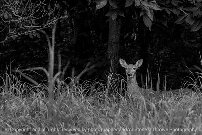 015-deer-wdsm-16jul14-003-bw-1727