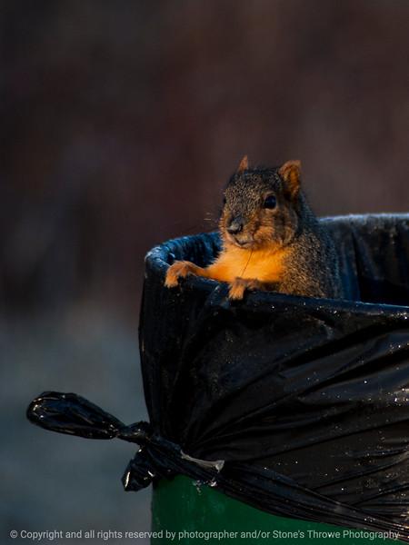015-squirrel-wdsm-27jan15-09x12-001-1532