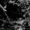 015-bird-wdsm-13jul17-12x08-007-bw-0208