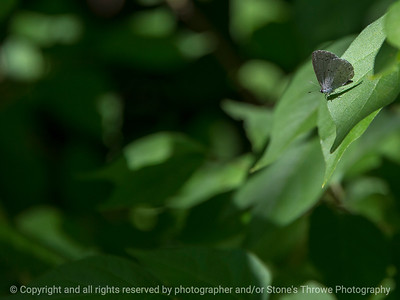 015-butterfly-wdsm-05jun18-12x09-002-300-5337