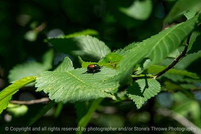 015-insect_beetle-wdsm-19jun17-18x12-003-9614