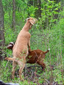 015-goat-wdsm-14may18-09x12-001-350-4717