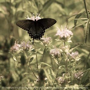015-butterfly-wdsm-15jul16-12x12-207-4888
