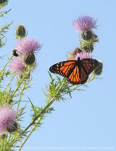 015-butterfly-wdsm-19sep08-cvr-0251