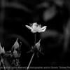 015-flower-wdsm-29jun10-lcvr-bw-5781