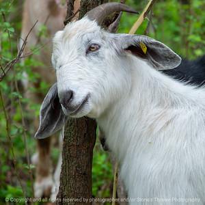 015-goat-wdsm-14may18-09x09-206-350-4765