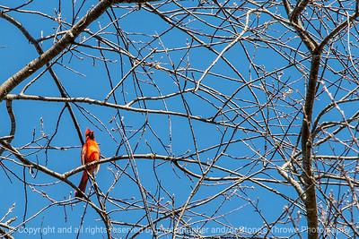 015-bird_cardinal-wdsm-24apr18-06x04-007-4036