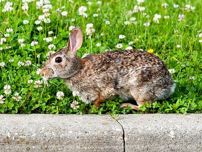 rabbit-wdsm-29may15-12x09-002-3514
