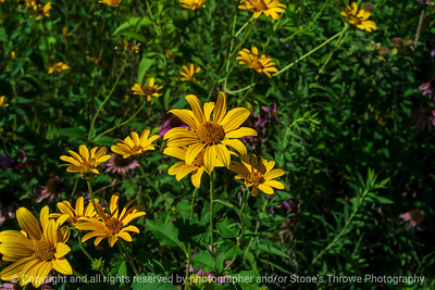 015-flower_yellow_oxeye-wdsm-15aug21-12x08-008-400-4283