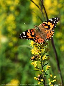 015-butterfly-wdsm-09x12-001-350-1399