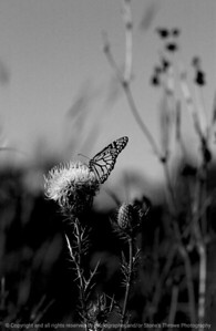 015-butterfly-wdsm-16sep08-bw-0914
